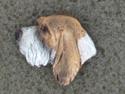 Basset Griffon Venden - Pin Head
